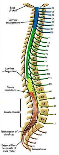 spinal_cord1a (1)